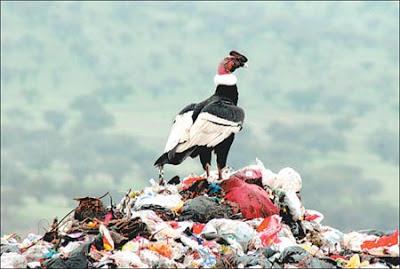 condor en la basura